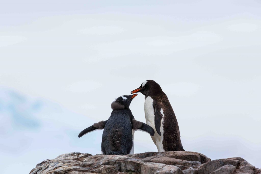 Amongst the species of penguins you may find in Antarctic region is the Gentoo penguin.