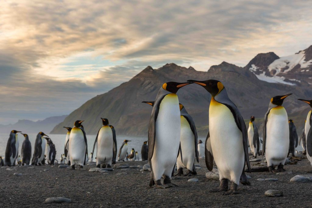 Amongst the species of penguins you may find in Antarctic region is the King penguin.