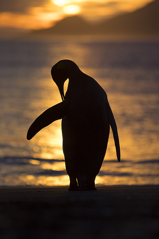 Silhouette of penguin in Antarctica. Photo: Paul Zizka