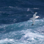 Albatross flying over the ocean