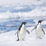 Penguins strolling through the snow in Antarctica