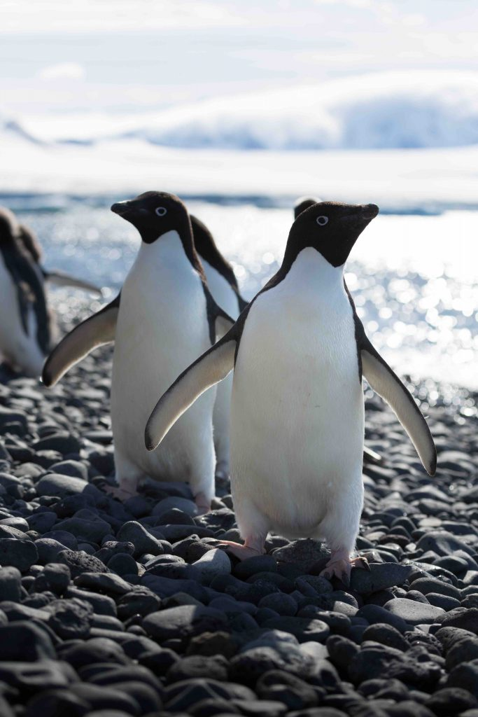 Amongst the species of penguins you may find in Antarctic region is the  Adelie penguin.