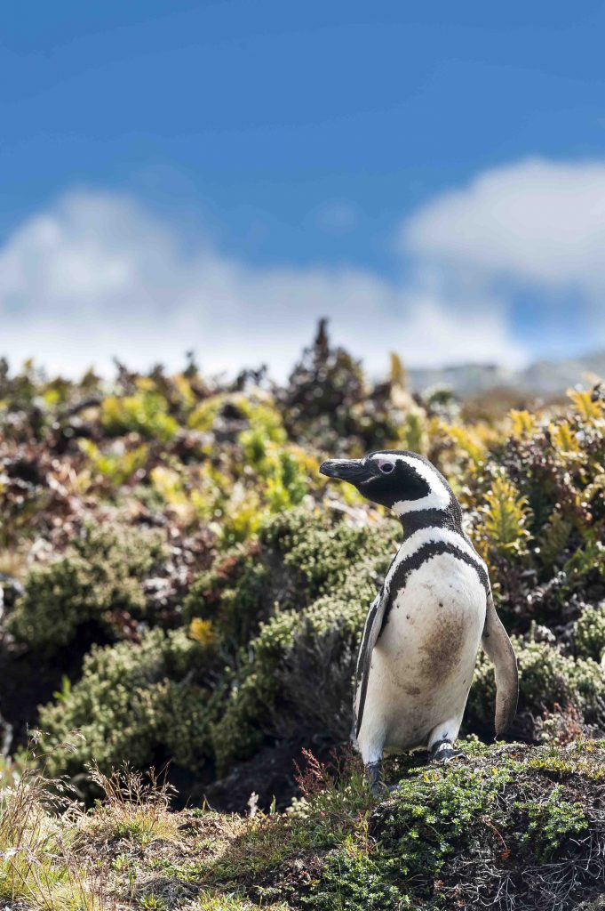 Amongst the species of penguins you may find in Antarctic region is the Magellanic penguin.