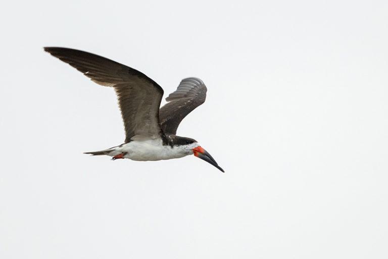 Black Skimmer Chilean Fjords