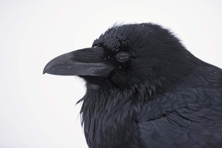 Close up of a raven. Photo: Colleen Gara.
