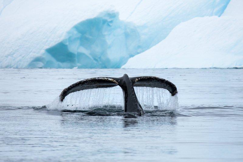 Humpback whale fluke, Cierva cove. Photo: Curtis Jones