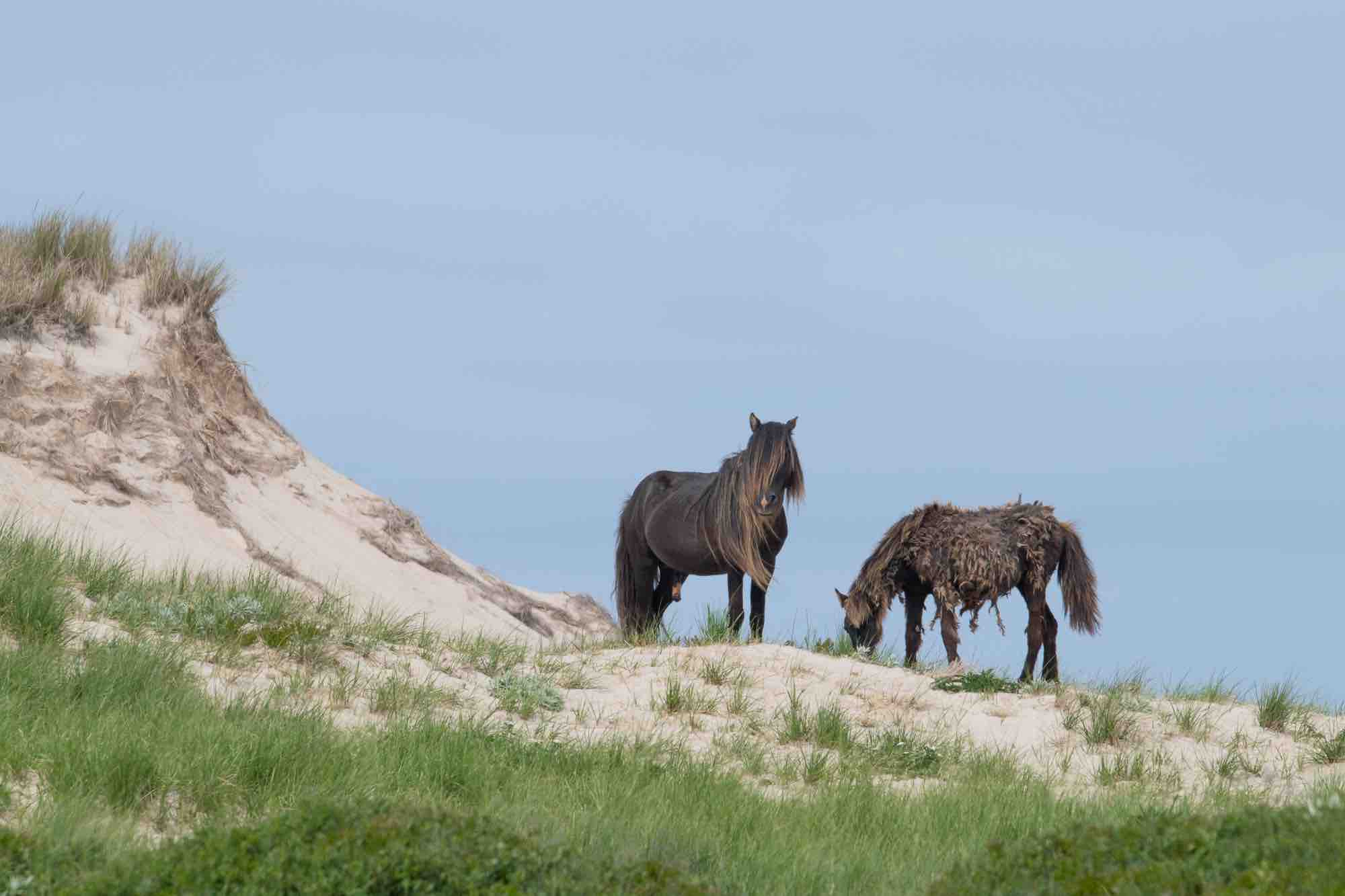 Wild horses from Sable Island