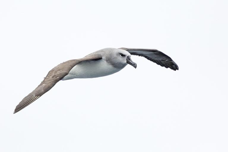 Gray-headed Albatross Chilean Fjords