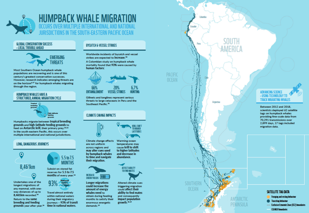 Infogram depicting the Humpback whale migration produced for the WWF UCSC Antarctic Whales Report 2018