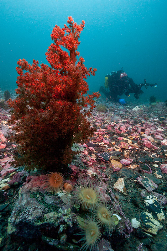 Red soft coral at Arctic Bay, Nunavut. Photo: Danny Kent Ocean Wise