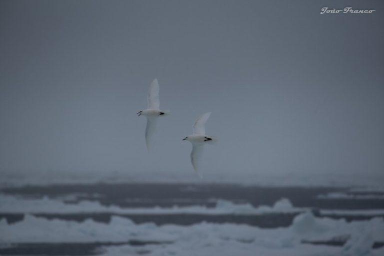 Ivory Gulls bird Arctic