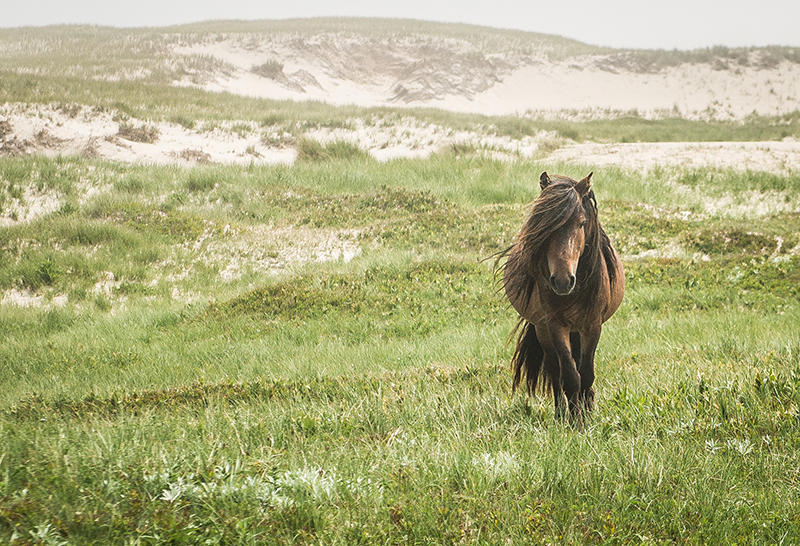 Horses of Sable Island. Image Jeff Topham