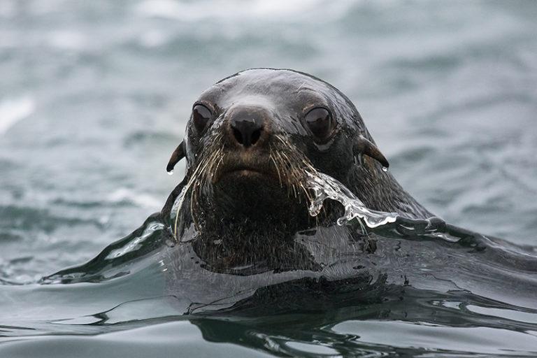 Seal swimming in Antarctica. Photo: Curtis Jones