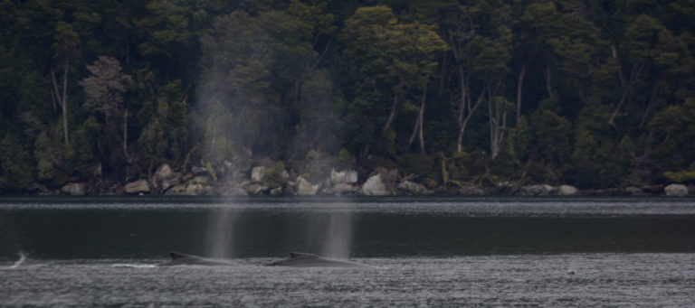 Two humpback whales in the Barbara Channel, just off the Magellan Strait. Photo: Jacqueline Windh