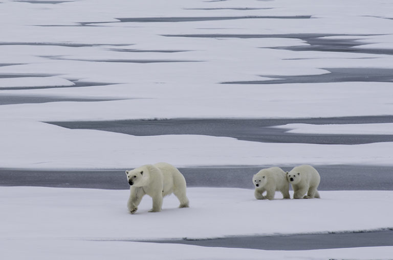 polar bear, arctic, greenland