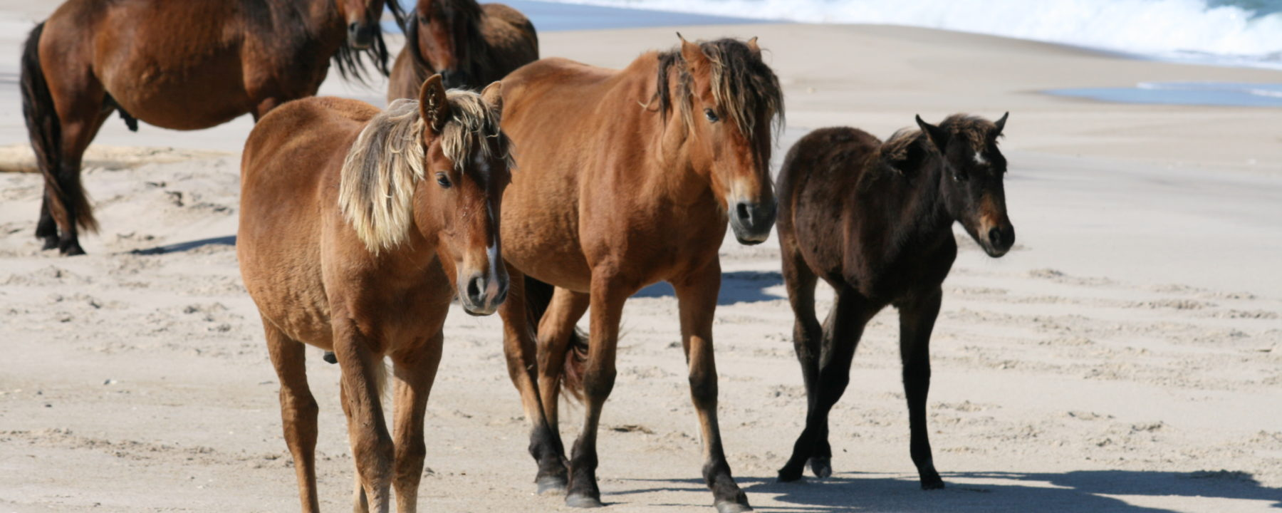 One Ocean Expeditions stops at Sable Island to see its wild horses.