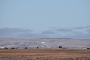 A herd of muskox in the distance