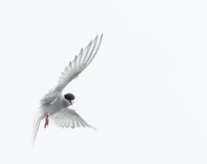 Arctic Tern - Migratory Birds
