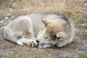 A young Kalaallit Qimmiat (Husky) laying on the side of the road in Ilulissat, Greenland
