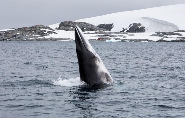 Minke whale by Steve Rose