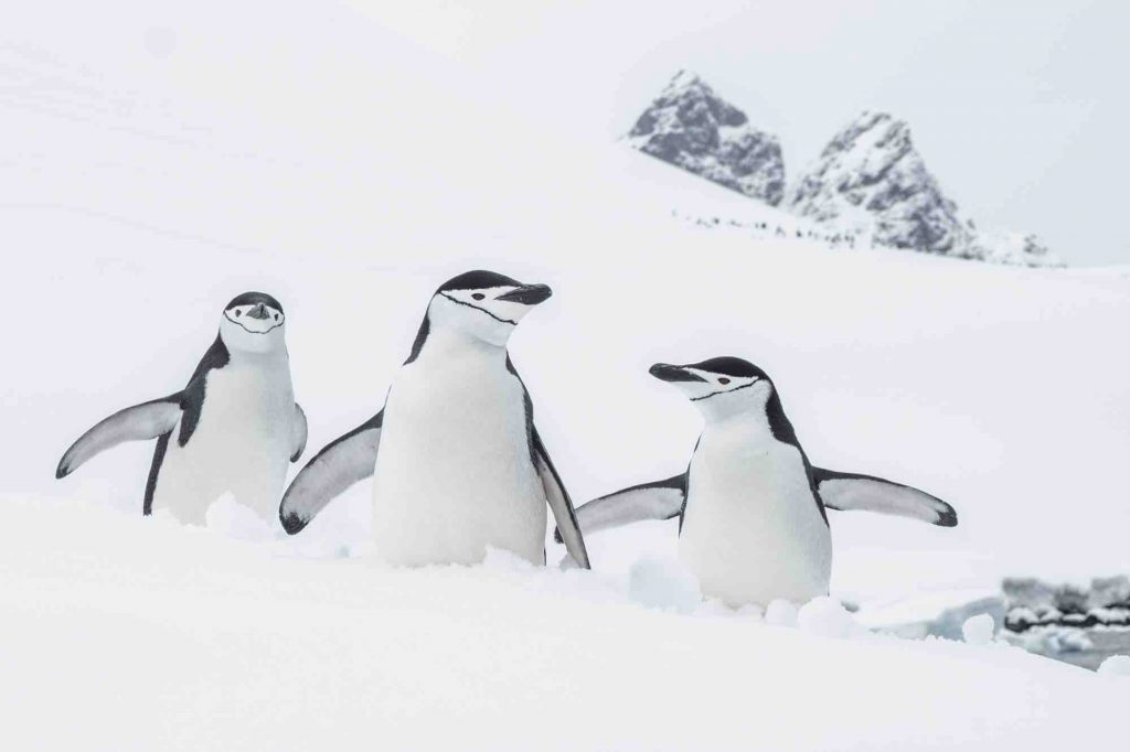 Amongst the species of penguins you may find in Antarctic region is the Chinstrap penguin.