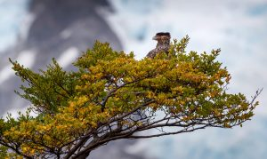 A Southern Crested Caracara sits in a tree.