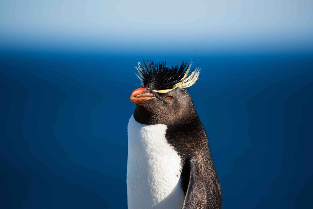 Amongst the species of penguins you may find in Antarctic region is the Rockhopper penguin.