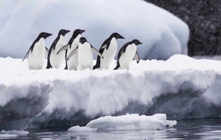 Adelie penguin- migratory bird